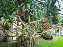 Pandanus trees and fruits in Co Thach town, Vietnam Stock Image