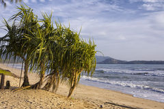 Pandanus trees Royalty Free Stock Images