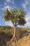 Pandanus tropical Foto de Stock Royalty Free
