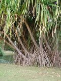 Branch and roots of Pandanus utilis tree stock images