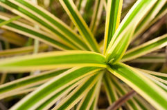 Pandanus variegated thorny leaves Royalty Free Stock Photo