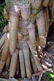 Pandanus-Wurzeln lizenzfreies stockfoto