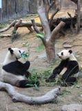 Pandapaare, die einander betrachten Stockfoto