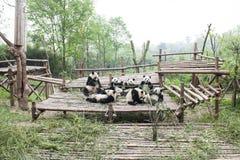 Pandas à Chengdu, Chine Photo libre de droits