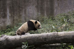 Pandas που αναρριχείται μέσω του μπαμπού στοκ εικόνες με δικαίωμα ελεύθερης χρήσης
