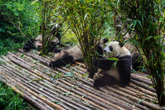 Pandas που απολαμβάνει το πρόγευμα μπαμπού τους στην ερευνητική βάση Chengdu, Στοκ φωτογραφίες με δικαίωμα ελεύθερης χρήσης