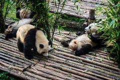 Pandas που απολαμβάνει το πρόγευμα μπαμπού τους στην ερευνητική βάση Chengdu, Στοκ εικόνα με δικαίωμα ελεύθερης χρήσης