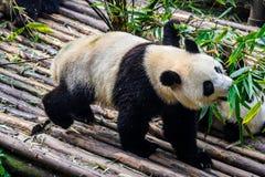 Pandas που απολαμβάνει το πρόγευμα μπαμπού τους στην ερευνητική βάση Chengdu, Στοκ Εικόνες