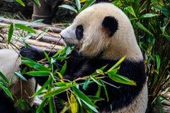 Pandas που απολαμβάνει το πρόγευμα μπαμπού τους στην ερευνητική βάση Chengdu, Στοκ Εικόνα