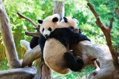 pandas που παίζουν δύο Στοκ Φωτογραφία