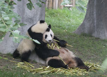 Pandas. While an adult panda is eating bamboo a cub panda is playing Stock Image