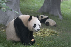 Pandas. While an adult panda is eating apple a cub panda is playing Royalty Free Stock Photo