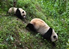 Pandas Stock Images