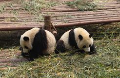 Pandas Royalty Free Stock Photo