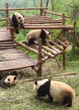 Pandas Stock Photo