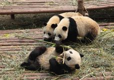 Pandas Royalty Free Stock Photos