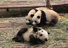 Pandas Royalty Free Stock Photos