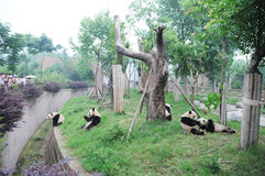 Pandas Photos libres de droits