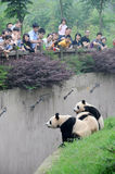 Pandas Fotografía de archivo libre de regalías