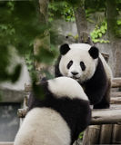 Pandas. Two panda cubs are playing on the logs Royalty Free Stock Photography