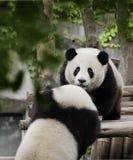 Pandas Royalty Free Stock Photography