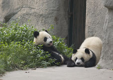 Pandas Stock Photos