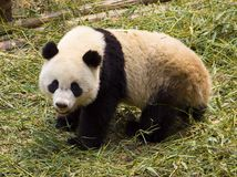 Pandas Στοκ εικόνα με δικαίωμα ελεύθερης χρήσης