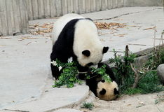 Pandas Fotografia de Stock