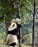 Pandas Royalty Free Stock Photo