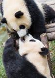 pandas Photos stock