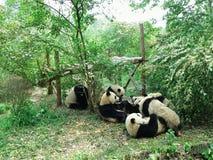 pandas Fotografia Stock