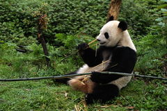 Pandas. China's giant pandas.It is the protection of an endangered animal Stock Images