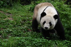 Pandas. China's giant pandas.It is the protection of an endangered animal Royalty Free Stock Photos