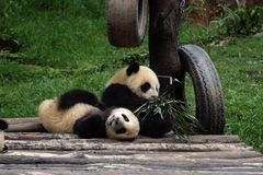 Pandas. China's giant pandas.It is the protection of an endangered animal Stock Photos