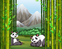 Pandas and bamboo forest Stock Images