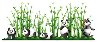 Pandas in the bamboo forest Royalty Free Stock Photo