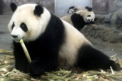 Pandas bed Royalty Free Stock Images