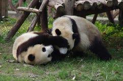 Pandas bonitos imagens de stock