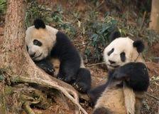 Pandas de relajación imagen de archivo libre de regalías