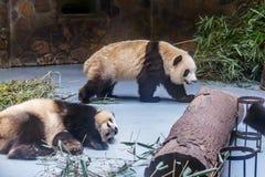 Pandas de sommeil et de marche à la réserve naturelle de Wolong, Chengdu, Sichuan espèce menacée de Provence, Chine et protégé photos stock