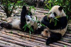 Pandas, die ihr Bambusfrühstück in der Chengdu-Forschungs-Basis genießen, Stockbilder