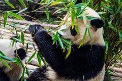 Pandas, die ihr Bambusfrühstück in der Chengdu-Forschungs-Basis genießen, Lizenzfreie Stockfotos