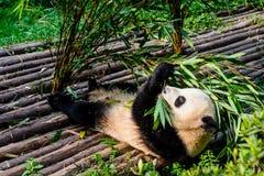 Pandas, die ihr Bambusfrühstück in der Chengdu-Forschungs-Basis genießen, Stockfoto