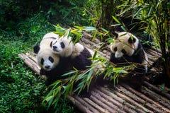 Pandas, die ihr Bambusfrühstück in der Chengdu-Forschungs-Basis genießen, Lizenzfreies Stockbild