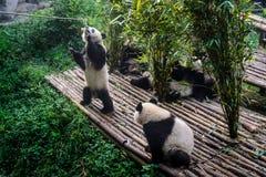 Pandas, die ihr Bambusfrühstück in der Chengdu-Forschungs-Basis genießen, Lizenzfreie Stockbilder