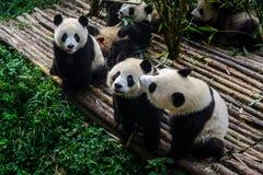Pandas, die ihr Bambusfrühstück in der Chengdu-Forschungs-Basis genießen, Stockfotografie