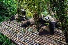 Pandas, die ihr Bambusfrühstück in der Chengdu-Forschungs-Basis genießen, Lizenzfreies Stockfoto