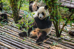 Pandas, die ihr Bambusfrühstück in der Chengdu-Forschungs-Basis genießen, Stockfotos
