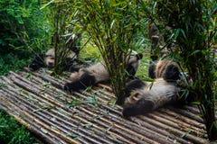 Pandas, die ihr Bambusfrühstück in der Chengdu-Forschungs-Basis genießen, Stockbild