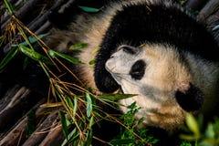 Pandas, die ihr Bambusfrühstück in der Chengdu-Forschungs-Basis genießen, Lizenzfreie Stockfotografie